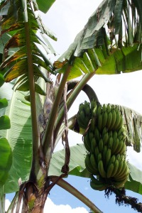 A bunch of bananas hangs from a tree. Once again, there are more banana trees in El Salvador than in our area of Honduras due to the lower elevation and warmer climate.